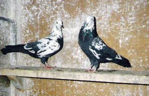 Мраморный голубь Любим устанавливать памятник на могилу